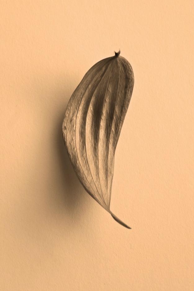 Sepia Leaf, Lilium